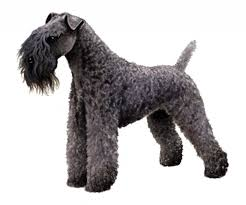 Kerry Blue Terrier Clipper Blades