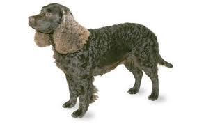 Portuguese Water Dog (Retriever Clip) Clipper Blades
