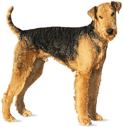 airedale terrier clipper blade